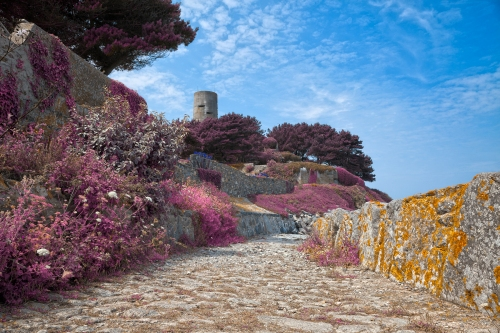 purple plants and yellow lichen on island of Guernsey